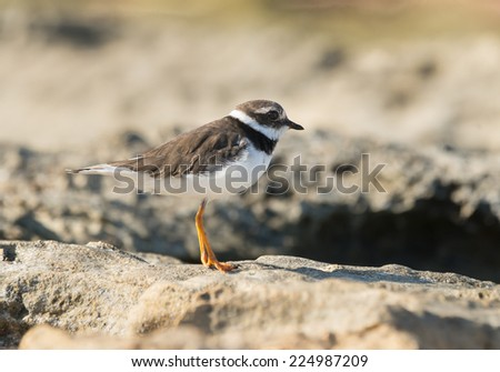Common Ringed Plover on the Sea Shore  - stock photo