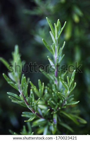 Common rosemary, or <i>Rosmarinus officinalis</i>, on close up.  - stock photo