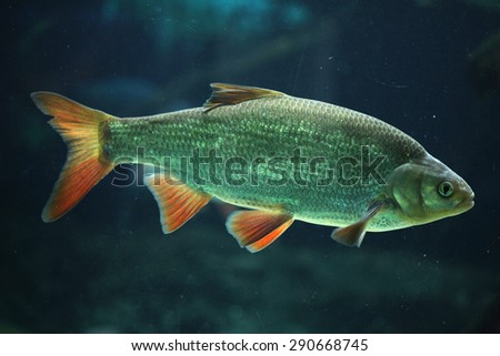 Common rudd (Scardinius erythropthalmus). Wildlife animal.  - stock photo
