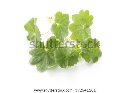 Commonâ??s lady mantle leaves - stock photo
