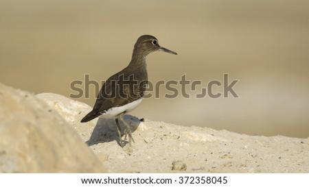 Common sandpiper bird - stock photo