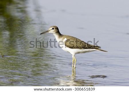 Common sandpiper in natural habitat / Actitis hypoleucos  - stock photo