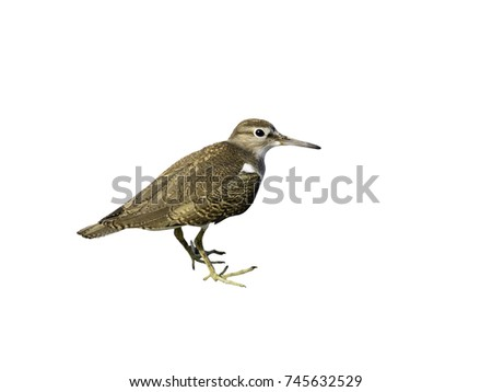 Common Sandpiper on White Background, Isolated