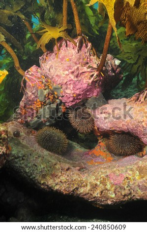 Common sea urchins on rock under canopy of kelp forest - stock photo