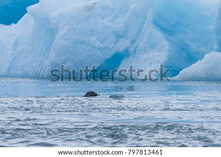 Common seal at Jokulsarlon glacier lake in front of ice floes