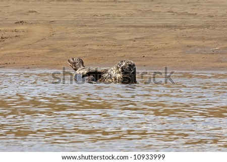 Common Seal in the River Don, Aberdeen, Scotland - stock photo