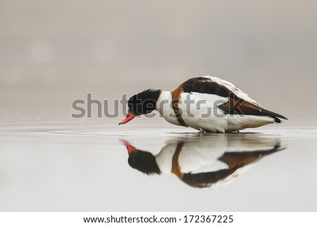 Common Shelduck  Tadorna tadorna  on nice background  - stock photo