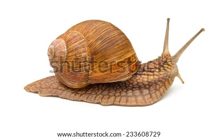 common snail on the white background - stock photo