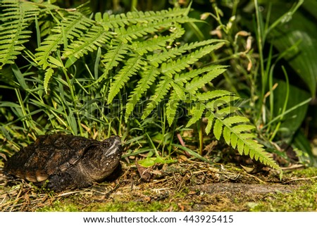Common Snapping Turtle - stock photo
