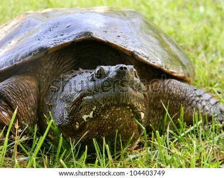 Common Snapping Turtle (Chelydra serpentina) - stock photo