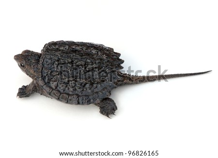 Common Snapping Turtle hatchling (Chelydra serpentina) - stock photo