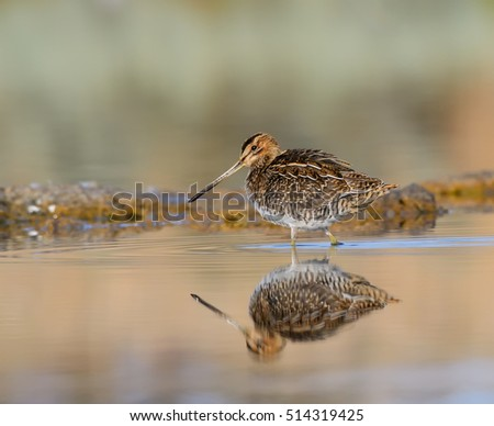 Common Snipe with Reflection Foraging in Early Morning Light