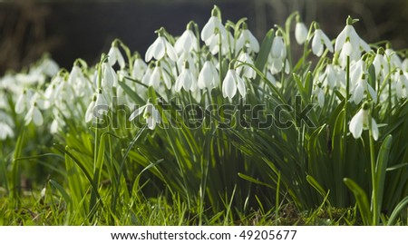 Common Snowdrop - stock photo