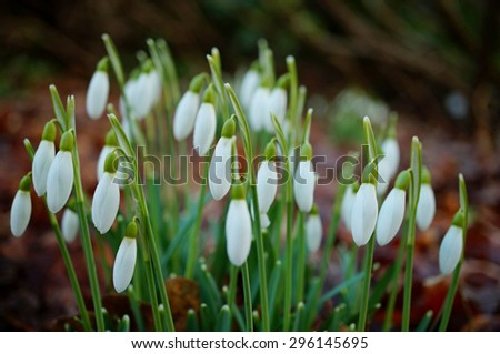 Common snowdrops in early spring - stock photo