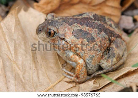 Common Spadefoot (Pelobates fuscus) - document portrait - stock photo