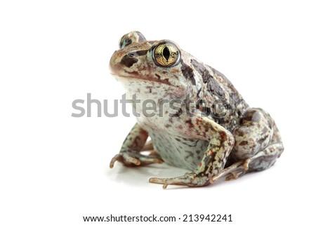 Common Spadefoot (Pelobates fuscus) isolated on white  - stock photo