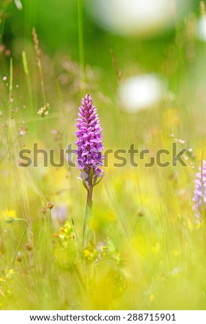 Common Spotted Orchid, Dactylorhiza fuchsil, hybrid, with diffused background, this orchid grows on grassland and open woods on calcareous or neutral soils, The Cotswolds, Gloucestershire, U K - stock photo