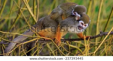 Common squirrel monkey  - stock photo