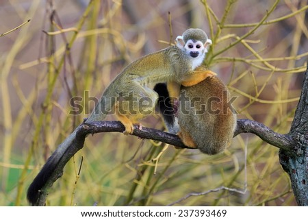 Common squirrel monkey and cub on the branch  - stock photo