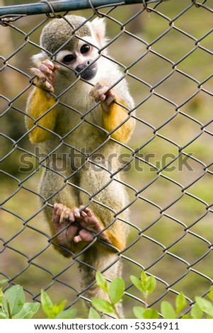 Common Squirrel monkey climbs the fence.