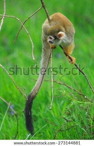 Common squirrel monkey looking for food - stock photo