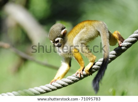 Common Squirrel Monkey (Saimiri sciureus)  on the rope. Shallow DOF - stock photo