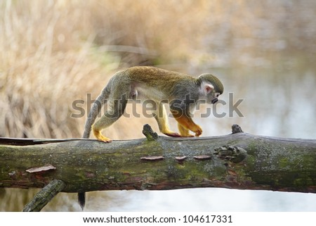 Common squirrel monkey, small primate native to the tropical areas of South America - stock photo