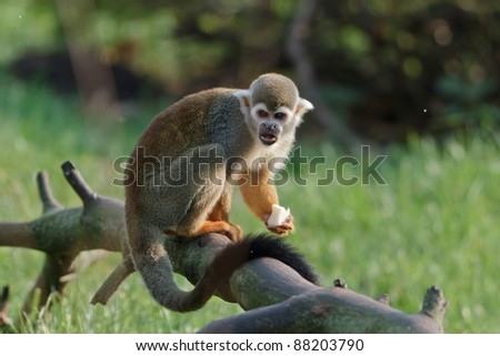 Common squirrel monkey with food - stock photo