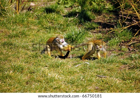 Common Squirrel Monkeys playing together - stock photo