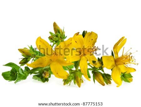 Common St. Johnswort flower ( tutsan ) isolated on white background - stock photo
