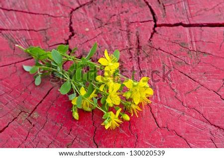 Common St. Johnswort medical flower ( tutsan ) on red wooden background - stock photo