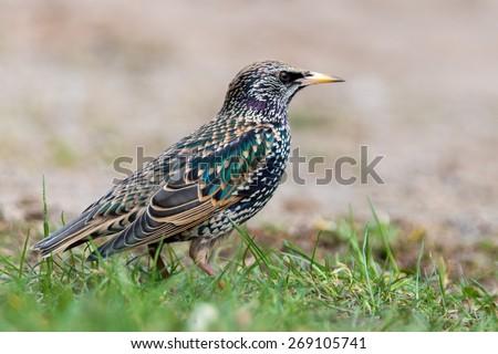 common starling - stock photo