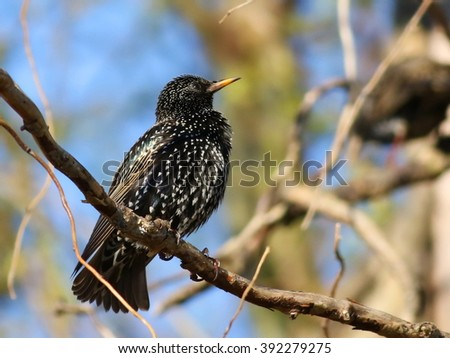 Common Starling on branch, Sturnus vulgaris