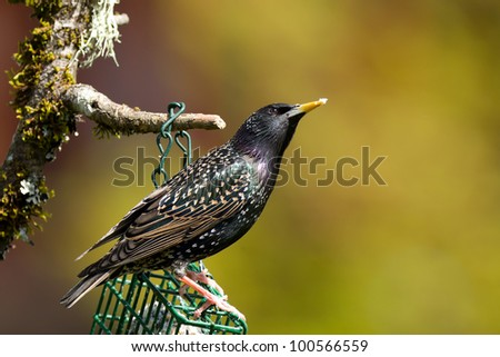 Common Starling (Sturnus vulgaris), also known as the European Starling or just Starling.