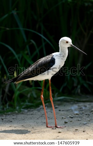 Common stilt - stock photo