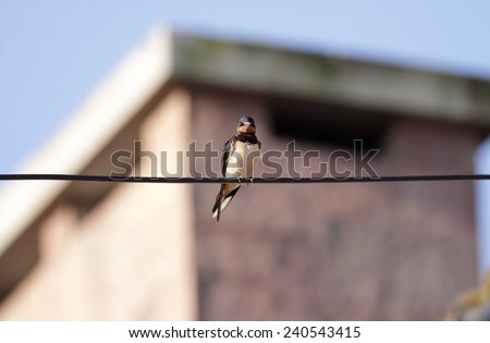 Common swallow perched on a wire, north of Portugal  - stock photo