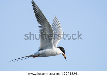 Common Tern in flight over a prairie wetland - stock photo