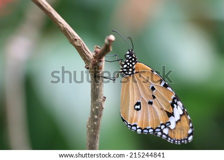Common Tiger butterfly,a beautiful butterfly on the tree branch