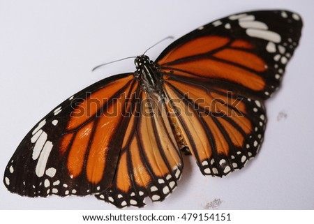 common tiger butterfly , Danaus Genutia , monarch butterfly isolated on nature background