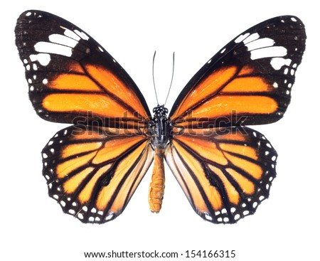 common tiger butterfly , Danaus Genutia , monarch butterfly isolated on white background - stock photo
