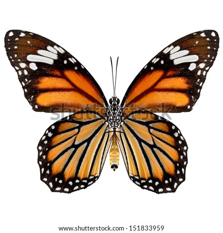 Common Tiger Butterfly isolate on white background.(Danaus genutia) - stock photo