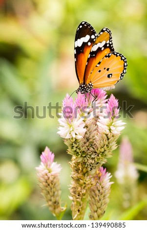 common tiger butterfly or African Monarch on flower - stock photo