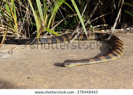 Common Tiger Snake (Notechis scutatum) near the Twelve Apostles at the Great Ocean Road, Victoria, Australia.