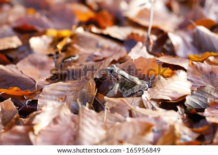 Common toad - autumnal leaves - stock photo