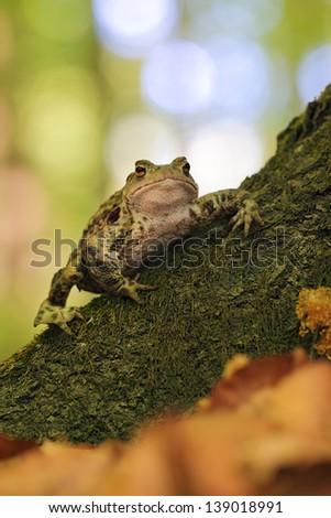 Common toad bufo bufo - stock photo