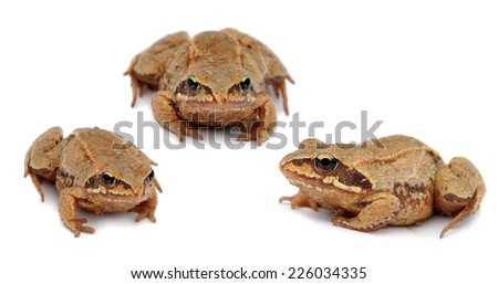 common toad bufo bufo . Set. Three toads isolated on white background. - stock photo