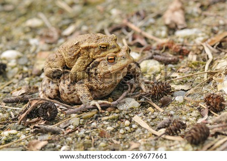 Common Toad During the spawning season to hike. - stock photo