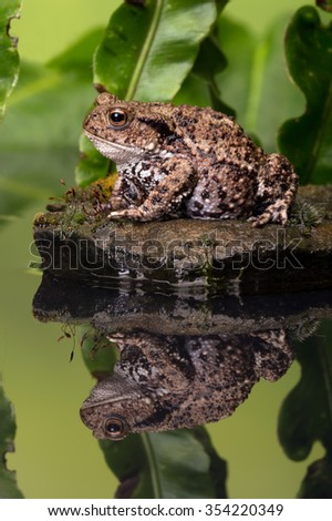 Common Toad on moss covered stone/Toad/Common Toad (Bufo Bufo) - stock photo