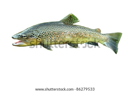 Common trout isolated on white background - stock photo