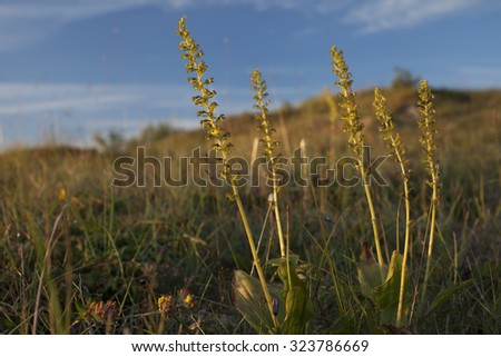 Common Twayblade Orchid (Neottia ovata, formerly N. Listera) growing at Norwegian island Kraka at Helgeland, Nordland, in the evening light.  - stock photo